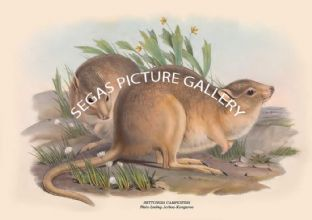 BETTONGIA CAMPESTRIS - Plain-Loving Jerboa-Kangaroo